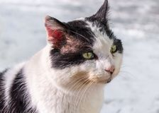 Close-up Witte en Zwarte Cat Head Looking Ahead royalty-vrije stock foto's