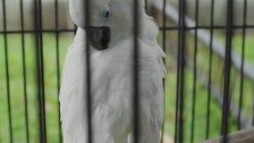 Close-up Witte Papegaai in een Kooi in de tuin stock footage