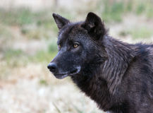 Close up Wolf Stock Photo