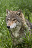 Close up of Wolf Peeking Through Tall Grass Royalty Free Stock Image