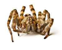 Close up of wolf spider. On white background Royalty Free Stock Images