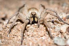 CLose-up of a wolf-spider in central Australia. Wolf spiders are members of the family Lycosidae, from the Ancient Greek word λύκος meaning wolf. They are Royalty Free Stock Image