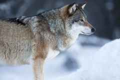 Close up of wolf standing in the snow Royalty Free Stock Photo