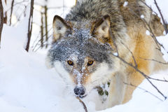 Close-up of wolf with wild eyes in winter forest Stock Photos