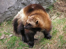 Close-up of a wolverine Royalty Free Stock Images