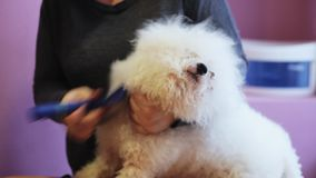 Close-up woman groomer combing white fluffy dog breed Bichon Frize stock video footage