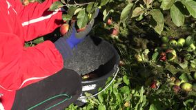 Woman hand gather ripe apple fruit in bucket in garden. 4K. Close up of woman hand gather fresh ripe apple fruit in bucket in garden. Season work in orchard. 4K stock video footage