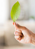 Close up of woman hand holding green leaf Royalty Free Stock Image