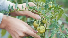 Close up woman hand touches green tomato on branch at garden. Concept vegetable. Close up woman hand touches green tomatoes on branch at garden. Growth process stock video