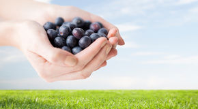 Close up of woman hands holding blueberries Royalty Free Stock Image