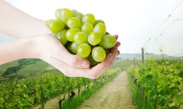 Close up of woman hands holding green grape bunch Royalty Free Stock Photos
