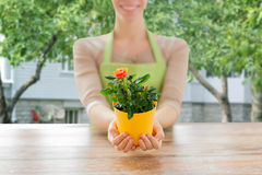 Close up of woman hands holding roses bush in pot Royalty Free Stock Photos