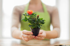 Close up of woman hands holding roses bush in pot Stock Photography