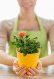 Close up of woman hands holding roses bush in pot Stock Image