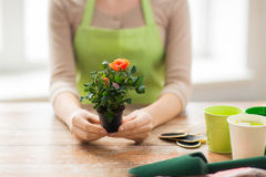 Close up of woman hands holding roses bush in pot Stock Images