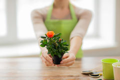 Close up of woman hands holding roses bush in pot Stock Photos