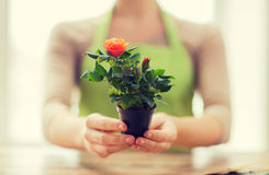 Close up of woman hands holding roses bush in pot Royalty Free Stock Image