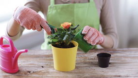 Close up of woman hands planting roses in pot stock video footage