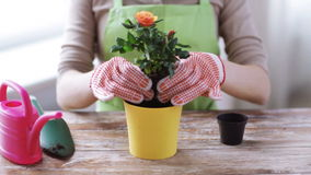 Close up of woman hands planting roses in pot stock footage