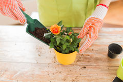 Close up of woman hands planting roses in pot royalty free stock images