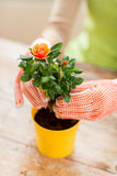 Close up of woman hands planting roses in pot Stock Photos