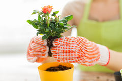 Close up of woman hands planting roses in pot Royalty Free Stock Photos