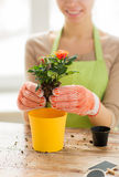 Close up of woman hands planting roses in pot Royalty Free Stock Image