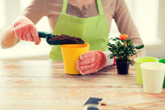 Close up of woman hands planting roses in pot Stock Images