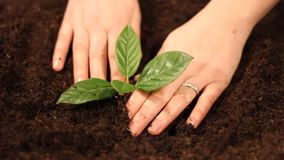 Planting a young tree close up stock footage