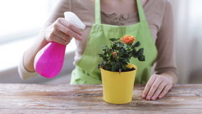 Close up of woman hands spraying roses in pot stock footage
