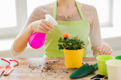Close up of woman hands spraying roses in pot Stock Images