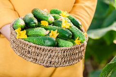 Close up of woman holding a basket of fresh cucumbers Stock Photography