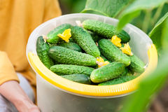 Close up of woman holding a bucket of fresh cucumbers Royalty Free Stock Images