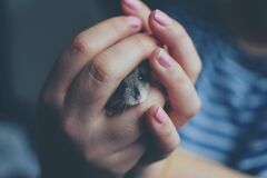 Close-up of Woman Holding a Hamster Stock Images