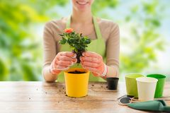 Close up of woman planting rose to flower pot. Gardening and people concept - close up of woman or gardener hands planting rose to flower pot over green natural Stock Images