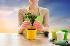 Close up of woman planting rose to flower pot. Gardening and people concept - close up of woman or gardener hands planting rose to flower pot over sky background Royalty Free Stock Photo