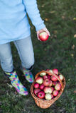 Close up of woman putting apple into basket. Close up of woman waist down putting apple into basket Stock Photo