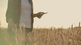 Close-up of woman`s hand running through organic wheat field, steadicam shot. Slow motion. Girl`s hand touching wheat stock video