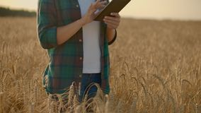 Close-up of woman`s hand running through organic wheat field, steadicam shot. Slow motion. Girl`s hand touching wheat stock footage