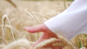 Close-up of woman`s hand running through wheat field, dolly shot stock video footage