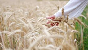 Close-up of woman`s hand running through wheat field, dolly shot stock video
