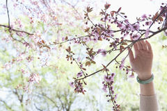 Close up of woman's hand touching a branch with pink cherry blossoms in a park in the springtime Stock Photo