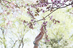 Close up of woman's hand touching a branch with pink cherry blossoms in a park in the springtime Royalty Free Stock Photos