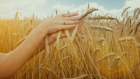 Close-up of of Woman`s hand touching golden wheat field. Girl`s hand touching wheat ear closeup. stock footage