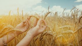 Close-up of of Woman`s hand touching golden wheat field. Girl`s hand touching wheat ear closeup. stock video
