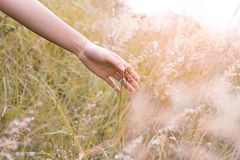 Close up woman`s hand touching a Natal grass Melinis repens with sunlight. stock photos