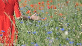 Close-Up of Woman`s in Red Dress Hand Running Through Poppies Field. Girl`s Hand Touching Red Poppy Flowers Closeup stock video footage