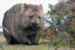 Close-up Wombat Стоковые Изображения RF