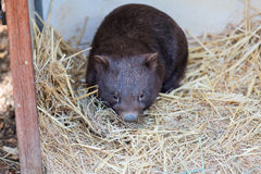 Close up of wombat in Australia. Royalty Free Stock Image