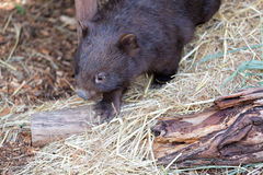 Close up of wombat in Australia. Royalty Free Stock Photo